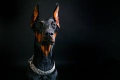 Beautifu-Dobermann auf einem schwarzen Hintergrund Lizenzfreies Stockbild