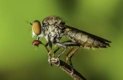 Beautifu insect killer eating in malaysia. Beautifu insect killer eating on the plant in malaysia stock photo