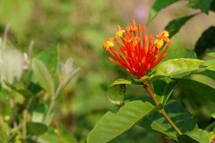 Beautifu lowers of the countryside. Ixora coccinea. The beauty of the wild flower in the the hillside Stock Photo