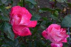 Beautifu lred розовая стоковые фото