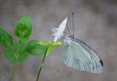 Beautifu motyl na naturze Zdjęcia Stock