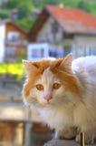 Beautiful orange eye cat Stock Image