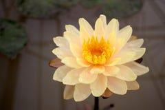 Beautifu orange lotus. Background nature stock images