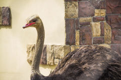 Beautifu ostrich close-up. Beautiful funny ostrich close-up Stock Photos