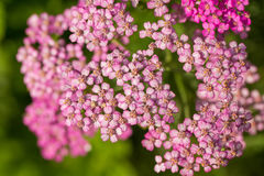 A beautifu pink garden yarrow on a natural background. Vibrant summer scenery. Shallow depth of field macro photo Stock Photos
