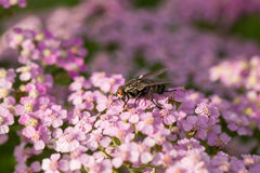 A beautifu pink garden yarrow on a natural background. Vibrant summer scenery. Shallow depth of field macro photo Stock Images