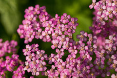 A beautifu pink garden yarrow on a natural background. Vibrant summer scenery. Shallow depth of field macro photo Stock Photo