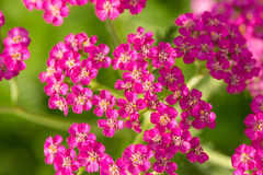 A beautifu pink garden yarrow on a natural background. Vibrant summer scenery. Shallow depth of field macro photo Royalty Free Stock Photo