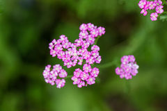 A beautifu pink garden yarrow on a natural background. Vibrant summer scenery. Shallow depth of field macro photo Royalty Free Stock Photos