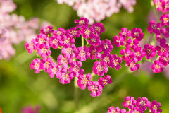 A beautifu pink garden yarrow on a natural background. Vibrant summer scenery. Shallow depth of field macro photo Stock Image