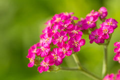 A beautifu pink garden yarrow on a natural background. Vibrant summer scenery. Shallow depth of field macro photo Royalty Free Stock Images
