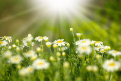 Beautifu spring daisy Royalty Free Stock Images