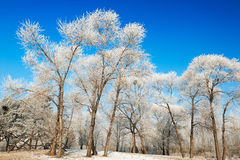 The beautifu winter forest with rime Stock Photos