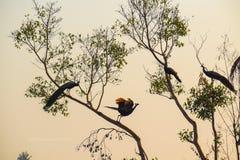 beautifual птица и король птиц в павлине Индии стоковые изображения