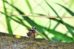 Beautifuk fjäril Arkivbild