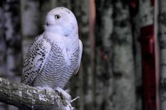 Beautifuk Snowy owl or Bubo scandiacus perches on branch. Snowy owl or Bubo scandiacus perching on branch looks leftwards stock photography