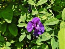 Beautiful blue Butterfly pea, blue pea flower stock photo