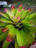 Beautiful†‹Bromeliad†‹in†‹garden†‹decoration†‹ royalty-vrije stock foto