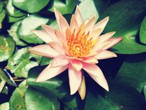 Beautiful†‹lotus†‹water†‹lily†‹blossom†‹tropical†‹flower†‹ royalty-vrije stock afbeeldingen
