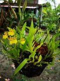 Beautiful†‹orchid†‹flower†‹in†‹garden†‹decoration†‹ fotografia stock