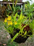 Beautiful†‹orchid†‹flower†‹in†‹garden†‹decoration†‹ obraz royalty free