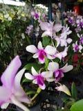 Beautiful†‹Orchid†‹flower†‹plant†tropikalny ‹ obraz stock