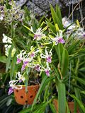 Beautiful†‹Orchid†‹flower†‹plant†tropikalny ‹ obrazy royalty free