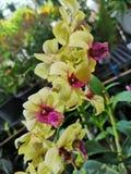 Beautiful†‹Orchid†‹flower†‹plant†tropikalny ‹ zdjęcie royalty free