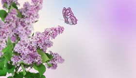 Beautiful abstract background. A butterfly flies to a lilac flower. Beautiful abstract spring background. A butterfly flies to a lilac flower stock images