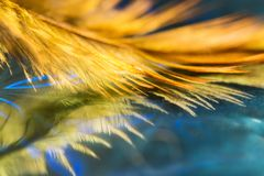 Beautiful abstract background, feather of golden color close up on a blue glass surface. Art image. Selective focus.  royalty free stock images