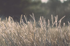 Beautiful abstract background grass texture on sunset - vintage Royalty Free Stock Image