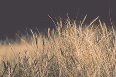 Beautiful abstract background grass texture on sunset - vintage Royalty Free Stock Photo