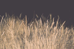 Beautiful abstract background grass texture on sunset - vintage Royalty Free Stock Images