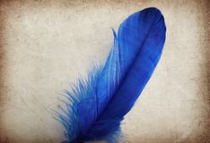 Beautiful abstract color blue feather on the brown and white isolated background and wallpaper royalty free stock image