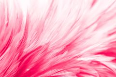 Free Beautiful Abstract Colorful Blue Black Red And Pink Feathers On Dark Background And Soft White Purple Feather Texture On White Pat Royalty Free Stock Photo - 163320985