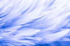 Beautiful abstract colorful blue black red and pink feathers on dark background and soft white purple feather texture on white pat