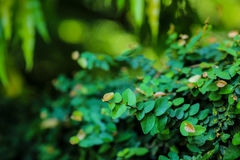 Beautiful abstract green leaves selective focus use for background Stock Photos