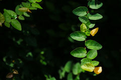 Beautiful abstract green leaves selective focus use for background Royalty Free Stock Photo