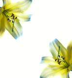 Beautiful abstract lilly frame Stock Photography