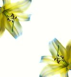 Beautiful abstract lilly frame Royalty Free Stock Image