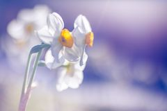 Beautiful abstract nature tulips and blurred bokeh background Royalty Free Stock Photography