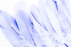 Beautiful abstract texture color blue and white feathers on the white isolated background and pattern wallpaper. Art royalty free stock images