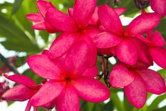 Beautiful abstract texture color red and pink Plumeria or Sumeria flowers royalty free stock photos