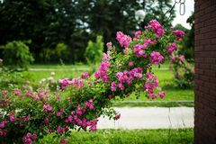 Beautiful, abundant climbing rose in a park. Beautiful, abundant climbing pink rose in a park. The plants are sustained by a large chain on a brick wall royalty free stock image