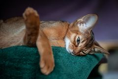 Beautiful Abyssinian plays Close-up stock images