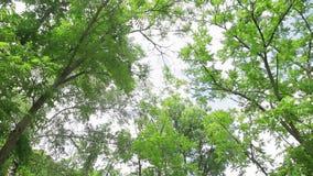 Beautiful acacia in a sunny day. Green foliage. Pan shot stock footage