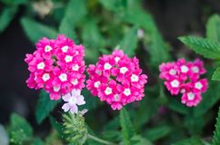 Beautiful achillea in the garden stock image