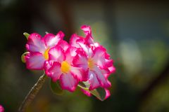 Beautiful Adenium flowers growing up in the garden at home and beautiful sunlight background. Adenium flowers and sunlight in the garden at home.fresh and royalty free stock photography