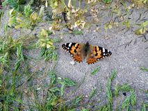 Beautiful Admiral Butterfly On Sandy Ground. Beautiful Black Orange And White Admiral Butterfly On A Sandy Ground royalty free stock photos