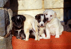 Beautiful adorable group of shepherd dog puppies in an outside shelter. Stock Photo